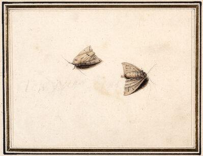 Master of the Arundel Sketchbook, 'White Ermine Moths (Spilo soma lubricipeda)', ca. 1640