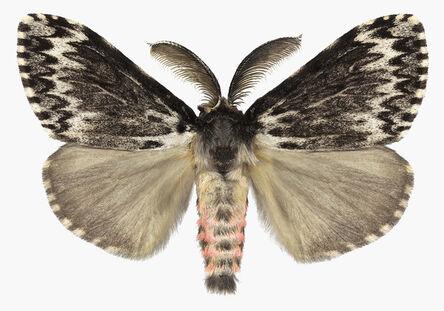 Joseph Scheer, 'Lymantria species', 2019