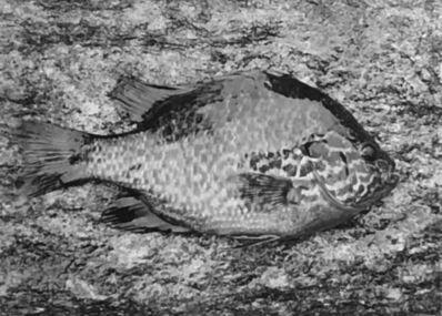 Paul Caponigro, 'Sunfish, Concord, MA', 1961
