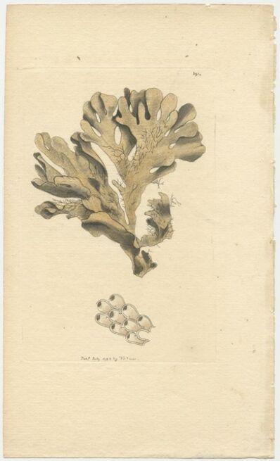 Frederick Polydore Nodder, 'Plate 391 Foliaceous Flustra', 1799