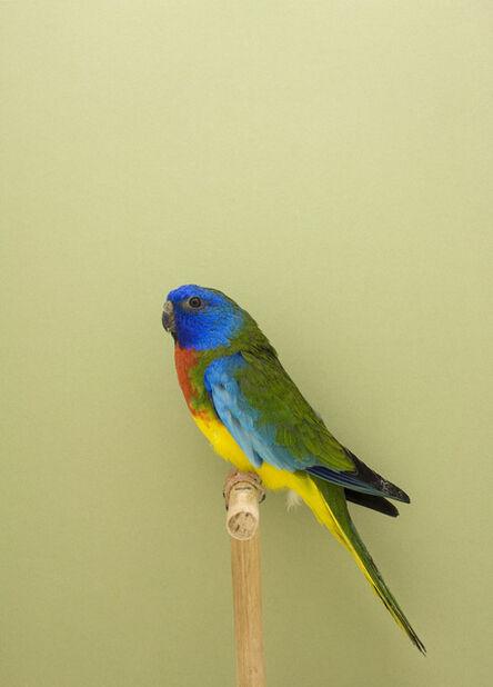 Luke Stephenson, 'Splendid #2, from The Incomplete Dictionary of Show Birds', 2009
