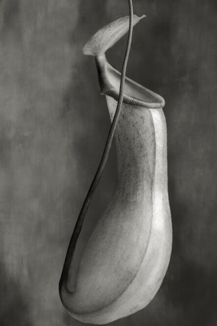 Beth Moon, 'Nepenthes Ventricosa'
