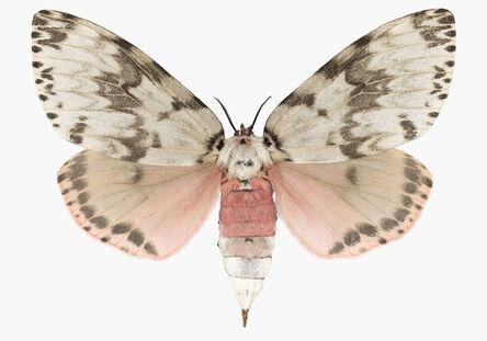 Joseph Scheer, 'Lymantria mathura', 2019