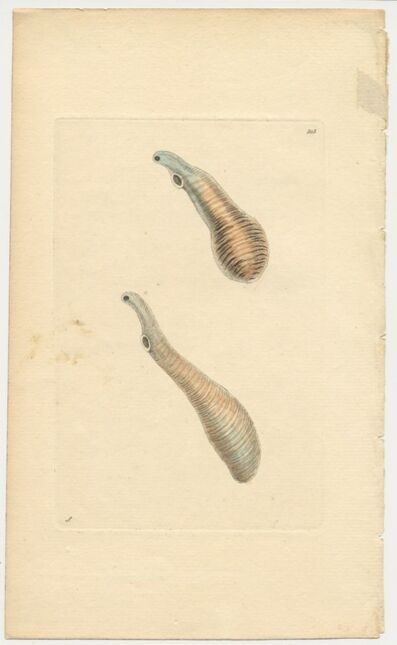 Frederick Polydore Nodder, 'Plate 303: The Clavated Fasciola', ca. 1795