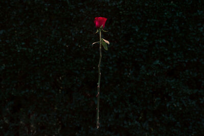 David Benthal, 'Red Rose', 2018