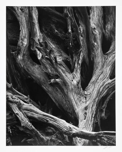 Ansel Adams, 'Sequoia Gigante Roots, Yosemite National Park', 1950