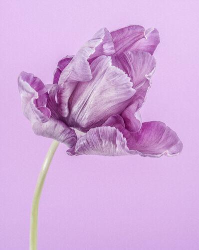Paul Coghlin, 'Purple Parrot Tulip I ', 2015
