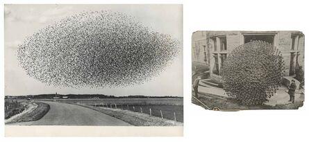 Murray Moss, 'TQ 45/46: Flock of Starlings/Chrysanthemum', NA/1913