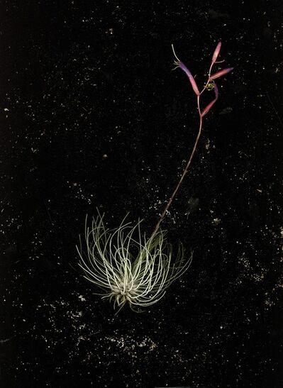 Nadege Meriau, 'Allium Fistulosum', 2016