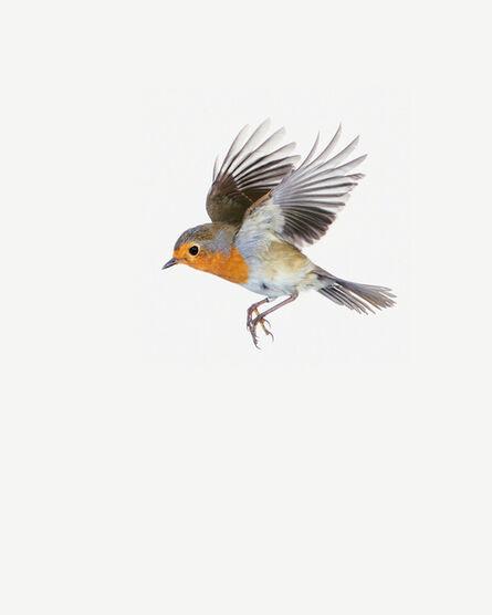 Sanna Kannisto, 'Erithacus Rubecula in Flight', 2019