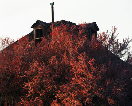 Laura McPhee, 'Blooming Tamarisk (in the town where my great-grandmother died), Goldfield, Nevada, 2015 1/5'