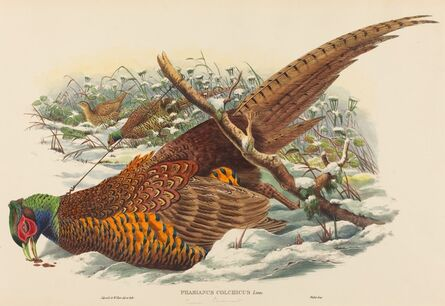 John Gould and W. Hart, 'Phasianus colchicus (Ring-necked Pheasant)'