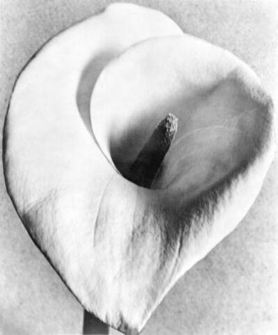 Tina Modotti, 'Calla Lily', 1924-1926