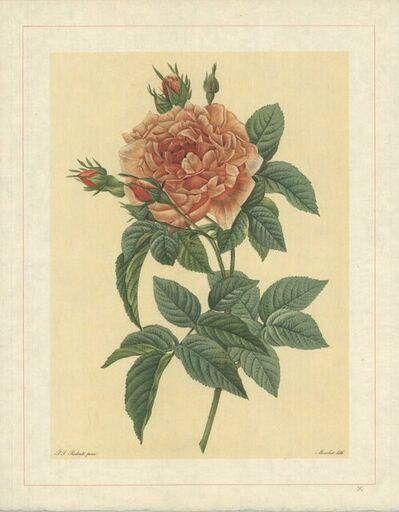 Pierre Joseph Redouté, 'Rosa Bifera Macrocarpa; Rosier de Portland 'Rose du Roi'', 1938