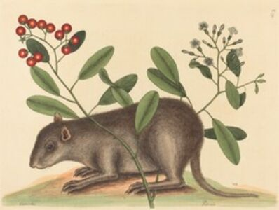 Mark Catesby, 'The Bahama Coney (Mus Monax)', published 1754