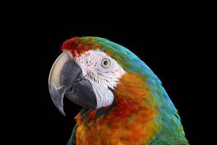 Brad Wilson, 'Catalina Macaw #1, Albuquerque, NM, 2016', 2016