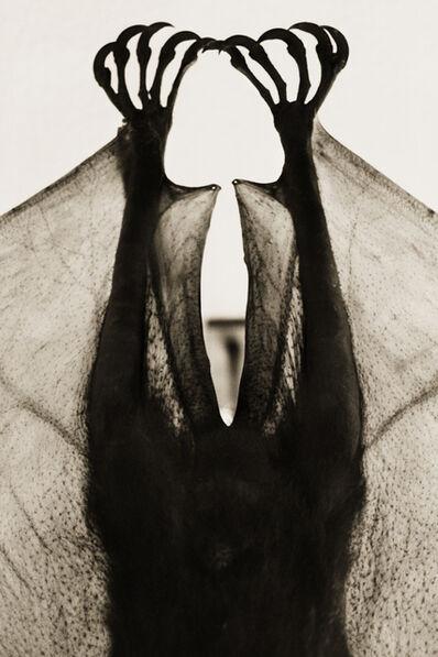 Henry Horenstein, 'Flying Fox, Pteropus Mearnsi'