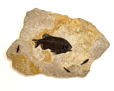 Natural History, 'Fred', Circa 50 million years old