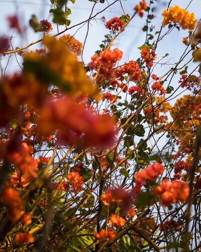 Cig Harvey, 'Coral and Orange Bougainvillea', 2019
