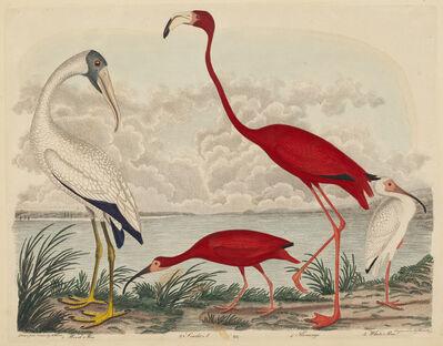 John G. Warnicke after Alexander Wilson, 'Wood Ibis, Scarlet Ibis, Flamingo, and White Ibis', published 1808-1814