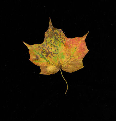 Meridel Rubenstein, 'Fall Palette Maple Leaf, Vermont', 2011