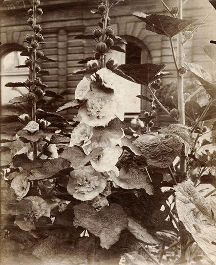 Eugène Atget, 'Flowers (Hollyhocks)', 1900c/1900c