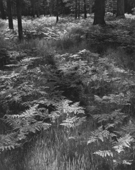 Ansel Adams, 'Ferns, Valley Floor, Yosemite National Park, California', 1948-printed later
