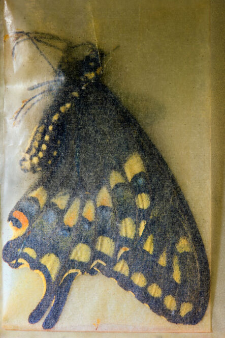 Fiona Pardington, 'Papilio zelicaon (Anise Swallowtail) ♂, Oak Creek Canyon, Arizona, July 12 1959, 1, 2016. With thanks Cornell University Insect Collection, Department of Entomology, Cornell University, Ithaca, NY', 2017
