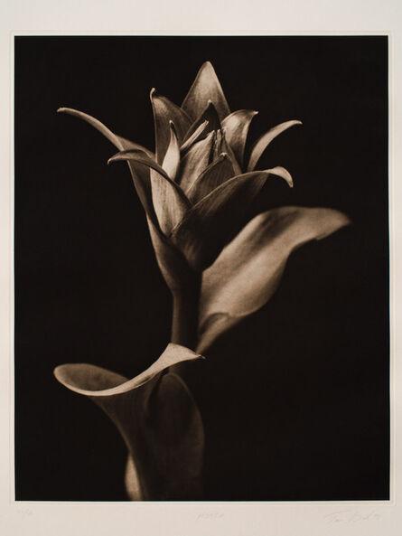 Tom Baril, 'Hosta', 1998