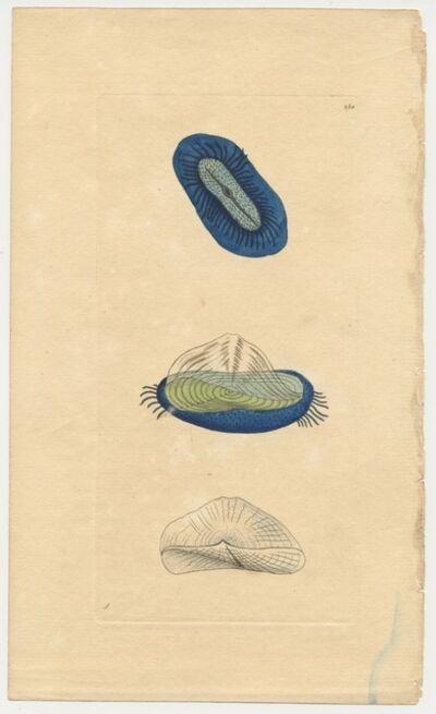 Frederick Polydore Nodder, 'Plate 250: The Sailing Medusa', ca. 1795