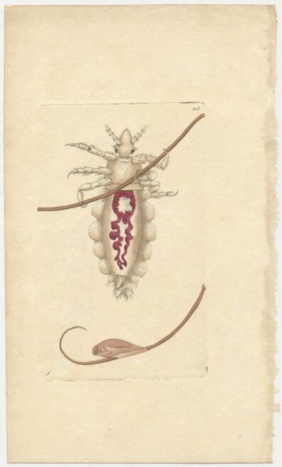 Frederick Polydore Nodder, 'Plate 208: The Louse', ca. 1795