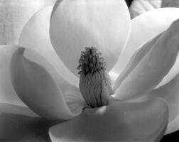 Imogen Cunningham, 'Magnolia Blossom, Tower of Jewels', 1925