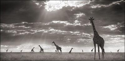 Nick Brandt, 'Giraffes in Evening Light ', 2006