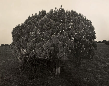 Kurt Markus, 'Cedar, Oro Ranch, Prescott, Arizona', 1987