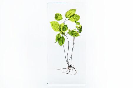 Azuma Makoto, 'Block Flower Three, Chloranthus japonicus', 2018