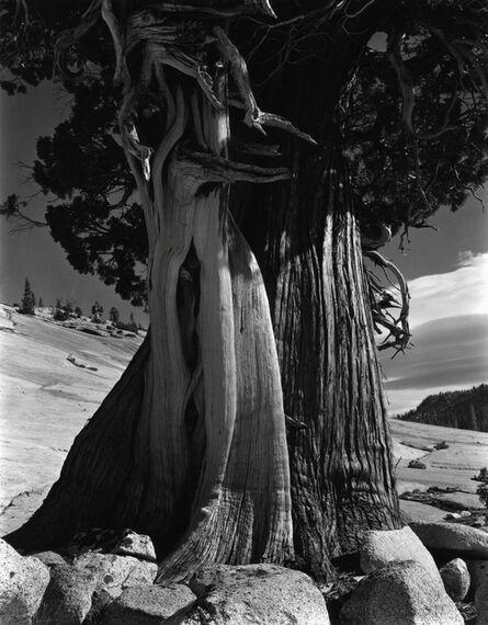 Edward Weston, 'Juniper, Lake Tenaya, No.2', 1937