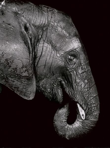 Walter Schels, 'Elephant', 1993