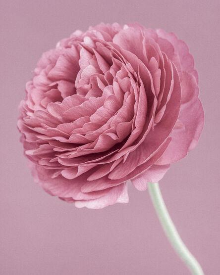 Paul Coghlin, 'Pink Ranunculus', 2015