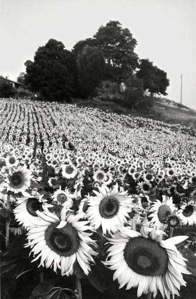 Martine Franck, 'Sunflowers, Cereste, Haute-Provence', 1984