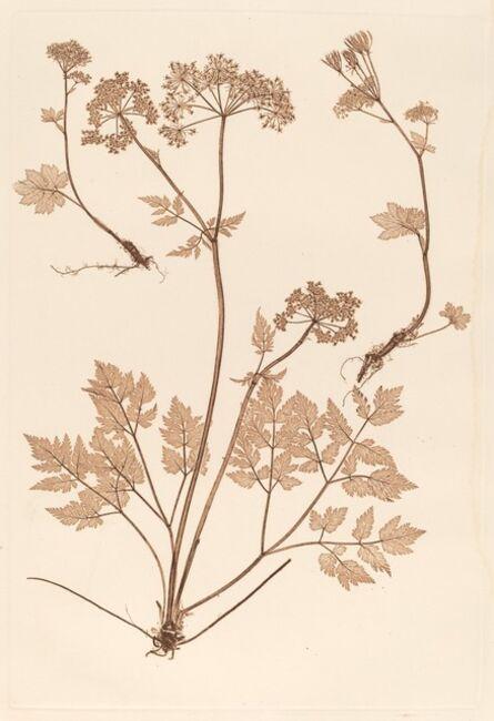Constetin von Ettinghausen and Alois Pokorny, 'Chaerophyllum hirsistum', 1856