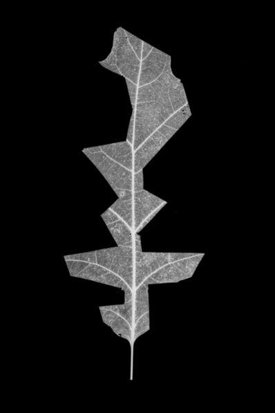 Henrik Strömberg, 'Leaf Cut 09', 2016