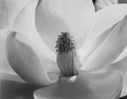 Imogen Cunningham, 'The Magnolia Blossom'