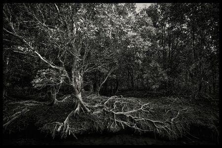 SC Shekar Subrahmanyam, 'Mangrove Tree, Mangrove forest, Langkawi, Malaysia', 2016