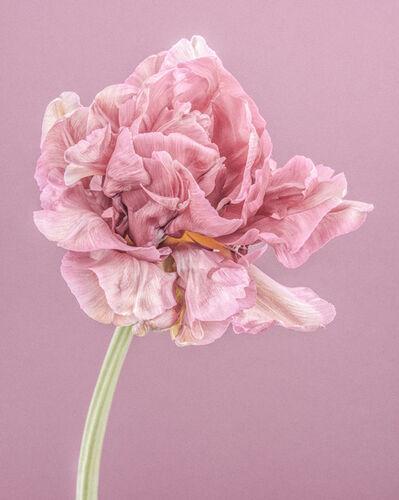Paul Coghlin, 'Pink Parrot Tulip I ', 2015