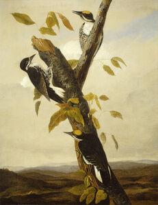 Joseph Bartholomew Kidd after John James Audubon, 'Black-Backed Three-Toed Woodpecker', 1831/1833