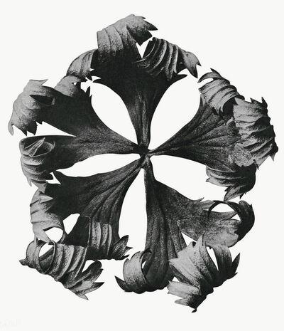 Karl Blossfeldt, 'Trollus europaeus', shot dated 1915-1925