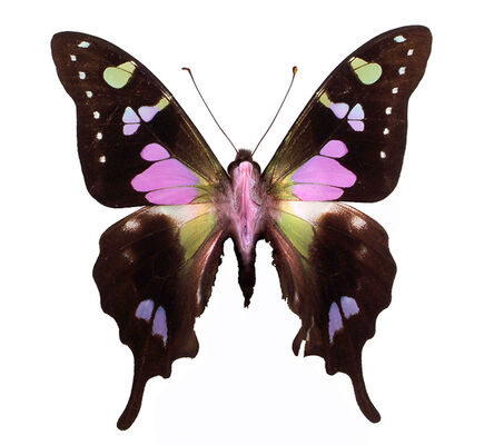 """Erika Harrsch, 'Graphium Weskey– Imago.  From the series """"objeto del deseo"""" country of origin Indonesia.', 2016"""