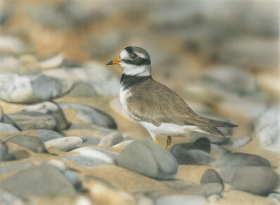 Adrian Smart, 'Ringed Plover', 2020