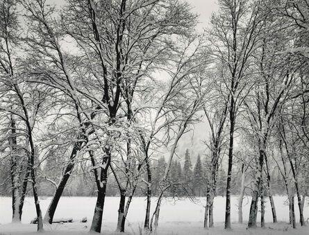 Ansel Adams, 'Young Oaks, Winter', 1935