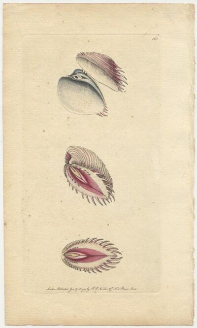 Frederick Polydore Nodder, 'Plate 163: Venus Dione or The Occidental Venus-Shell', 1794